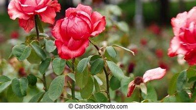 rose, été, jardin, vendange, métrage, prise vue., couleurs, roses, colorisé, en mouvement, rose, frais, vent