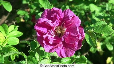 rose, 1080., hd, flower., abeille