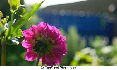 rose, aster, vidéo, fleur, yard