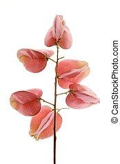 rose, automne, fleurs, studio, fond, blanc, transparent