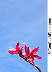 rose, bleu fleurit, ciel