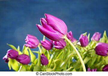 rose, bleu, tulipes, studio, fond, fleurs