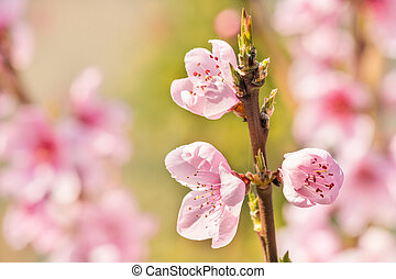 rose, bourgeons, pêcher, fleurs, fleur