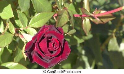 rose, bourgogne