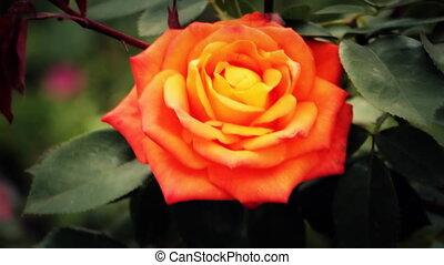 rose, brise, fleur, mouvementde va-et-vient