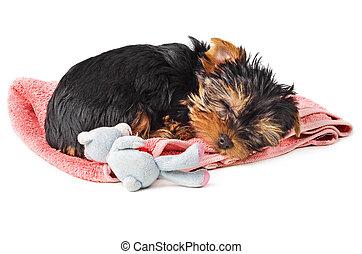 rose, chiot, serviette, dormir