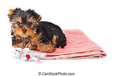 rose, chiot, terrier, moquette, yorkshire