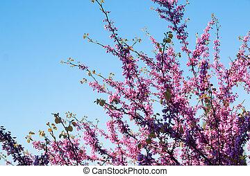 rose, ciel bleu, arbre, fond, fleurs, judas