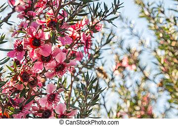 rose, copie, fleurs, ciel, espace, bleu, manuka, arbre, contre