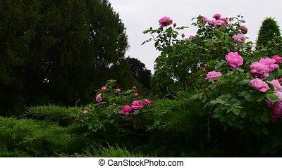 rose, garden., buisson, rose