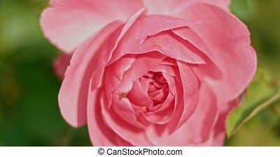 rose, garden., jardin, automne, roses, venteux, temps, frais, pâle, jour