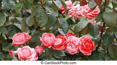 rose, garden., jardin, rose, prise vue., roses, buisson, printemps