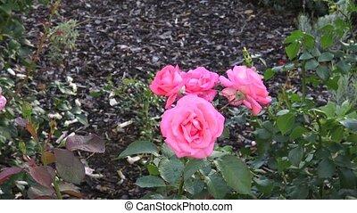 rose, garden., roses, parc, rose