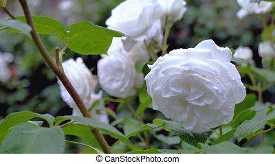 rose, grand, autre, roses., fond, blanc