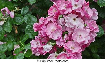 rose, grand, buisson, floraison, roses