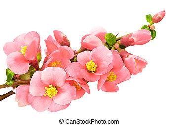 rose, isolé, fleurs, doux, fond, blanc