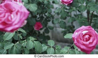 rose, jardin, fleur, roses, rose, beau