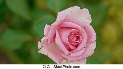 rose, jardin, rose, automne, shuttering, pâle, vent