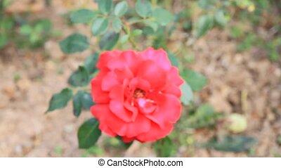 rose, jardin, rouges