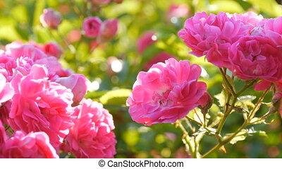 rose, jour ensoleillé, beau, buisson, délicat, parc, rosebuds., fleurir, été, roses