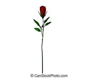 rose, longue tige