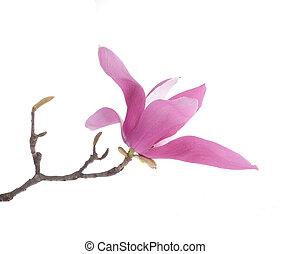 rose, magnolia, isolé, fond, fleurs blanches