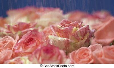 rose, mouvement, lent, pétales, eau, roses, gouttes, tomber, fleurs