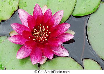 rose, nénuphar