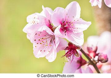rose, pêche, brouillé, arrière-plan vert, fleurs, fleur
