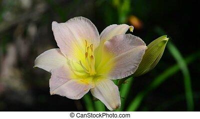 rose, parterre fleurs, fleur, pâle, daylily