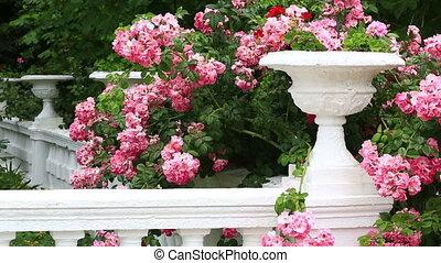 rose, pierre, floraison, contre, vase, roses, buisson, blanc