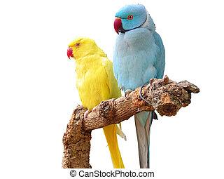 rose-ringed, parakeets