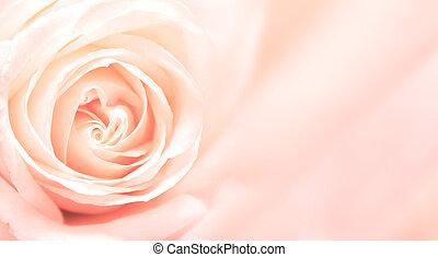 rose rose, bannière