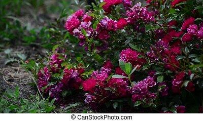 rose rose, buisson, abundantly, fleurir