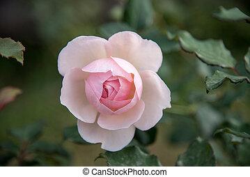 rose rose, fleurs, fond, brouillé
