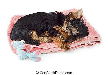 rose, serviette, yorkshire, dormir, chiot, terrier