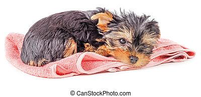 rose, triste, isolé, yorkshire, chiot, terrier, moquette