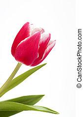 rose, tulipe, unique, fond blanc