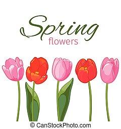 rose, tulipes, illustration, arrière-plan., vecteur, blanc rouge