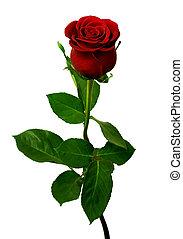 rose, unique, fond blanc, rouges