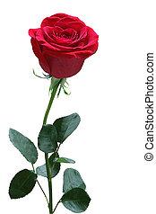 rose, unique