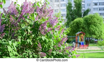 rose, ville, buisson, lilas