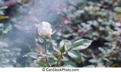 roses, arrosage, jardin