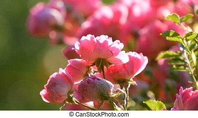 roses, beau, délicat, ensoleillé, rose, rosebuds., parc, été, buisson, fleurir, jour