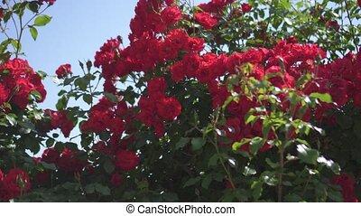roses, beau, soleil, rouges