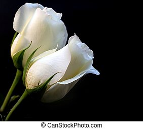 roses, blanc