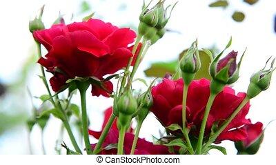 roses, buisson, arrière-plan rouge, lumière
