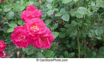 roses, buisson, floraison, rouges