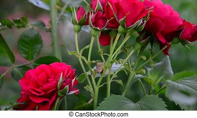 roses, buisson, jardin, rouges