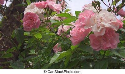 roses, buisson, rose, vert